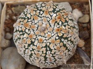 Astrophytum asterias cv. SUPERCABUTO small V TYPE