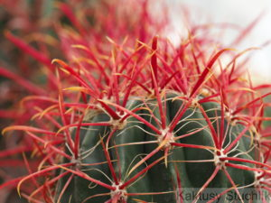 Ferocactus gracilis KMR 339