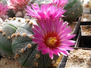 Astrophytum asterias hybrid růžový květ