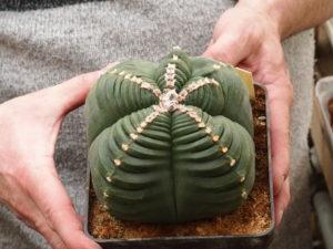 Astrophytum myriostigma nudum cv. KIKKO