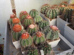 Čásk kolekce, hlavně Melocactus matanzanus