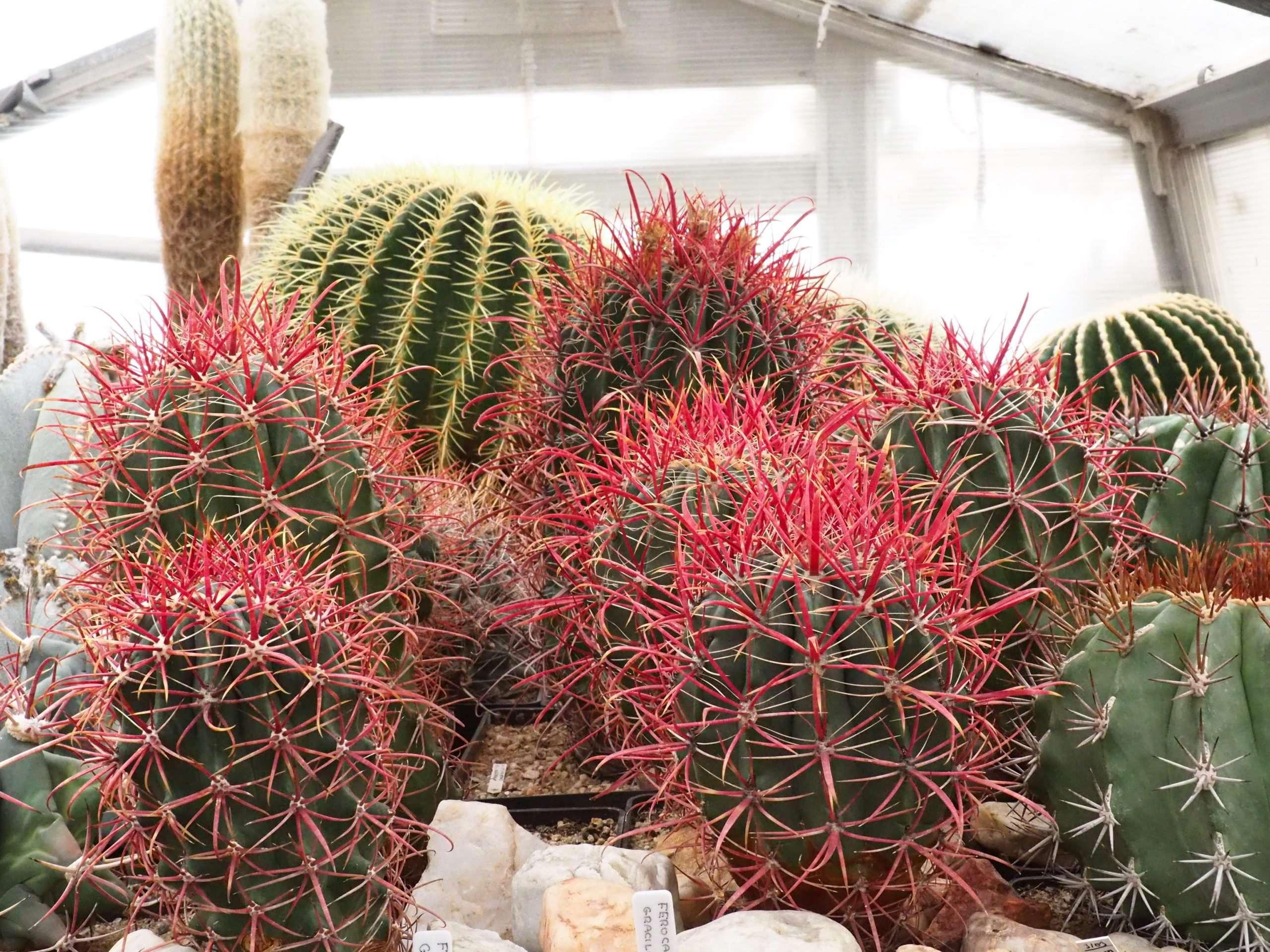 V popředí výrazně červené Ferocactusy gracilis