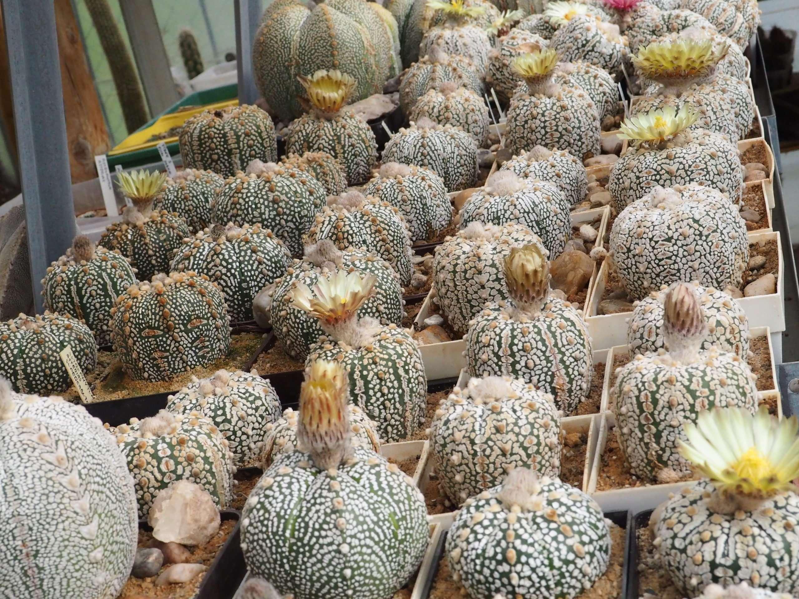 Astrophytum asterias cv. Supercabuto