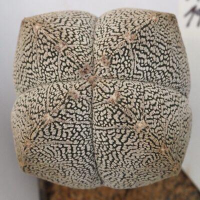 • Astrophytum myriostigma cv. Onzuka